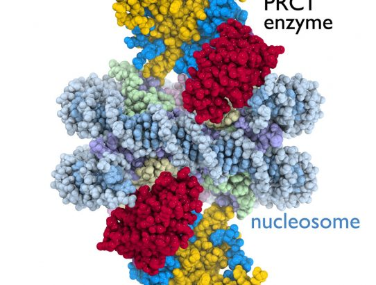 First detailed picture of a cancer-related cell enzyme in action on a chromosome