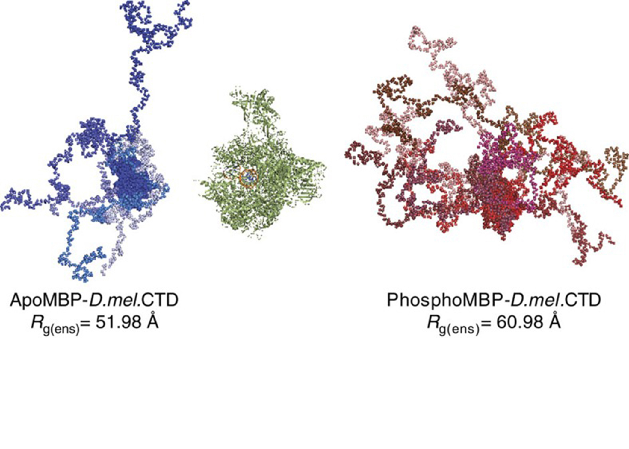Structural heterogeneity in the intrinsically disordered RNA polymerase II C-terminal domain. Gilmour DS, Showalter SA